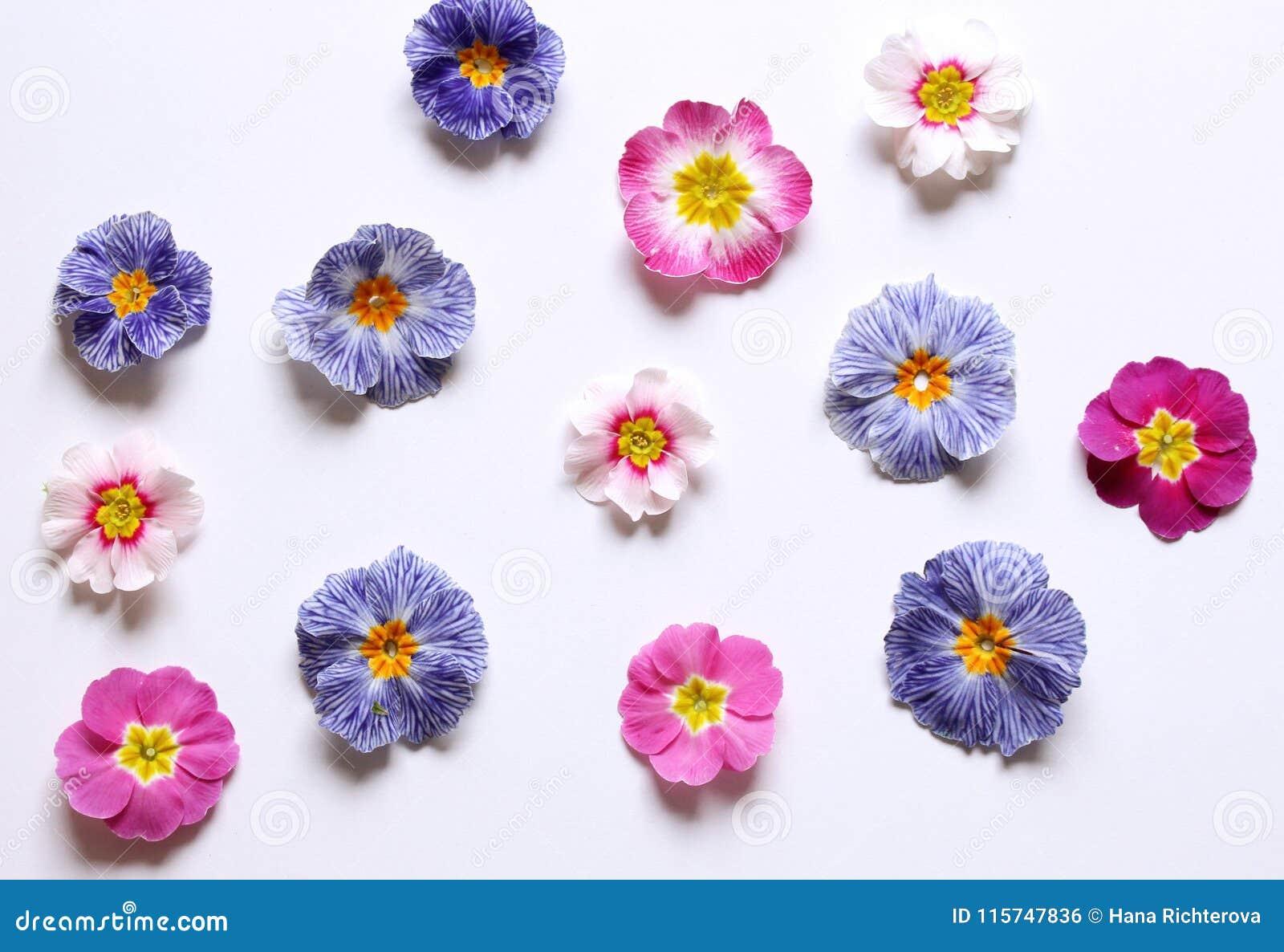 Composizione della primaverina, fiori vulgaris della primula su un fondo bianco, vista superiore, disposizione piana creativa Il