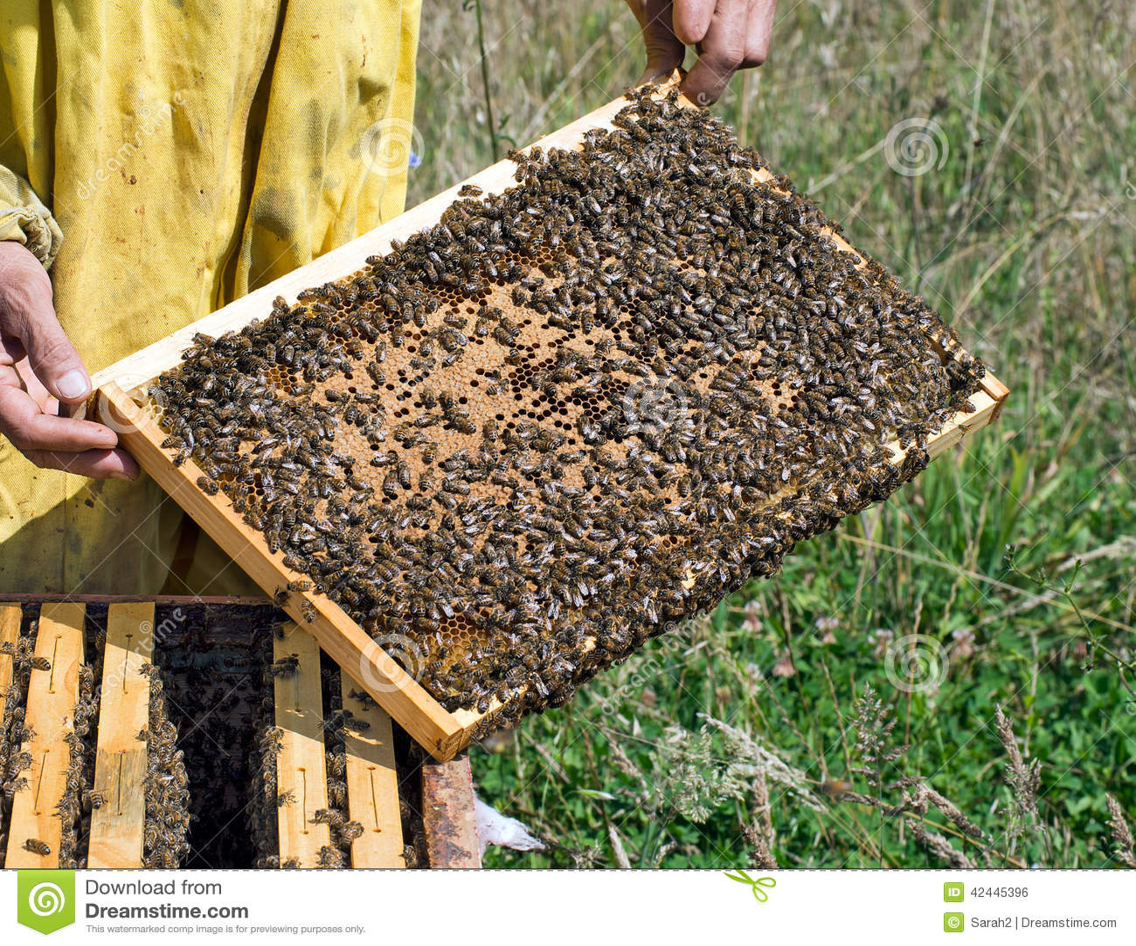 Comprobando las abejas - el marco contiene las células selladas para las larvas/las crisálidas