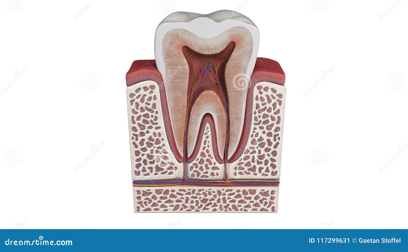 3d Illustration Of A Tooth Anatomy Stock Illustration Illustration