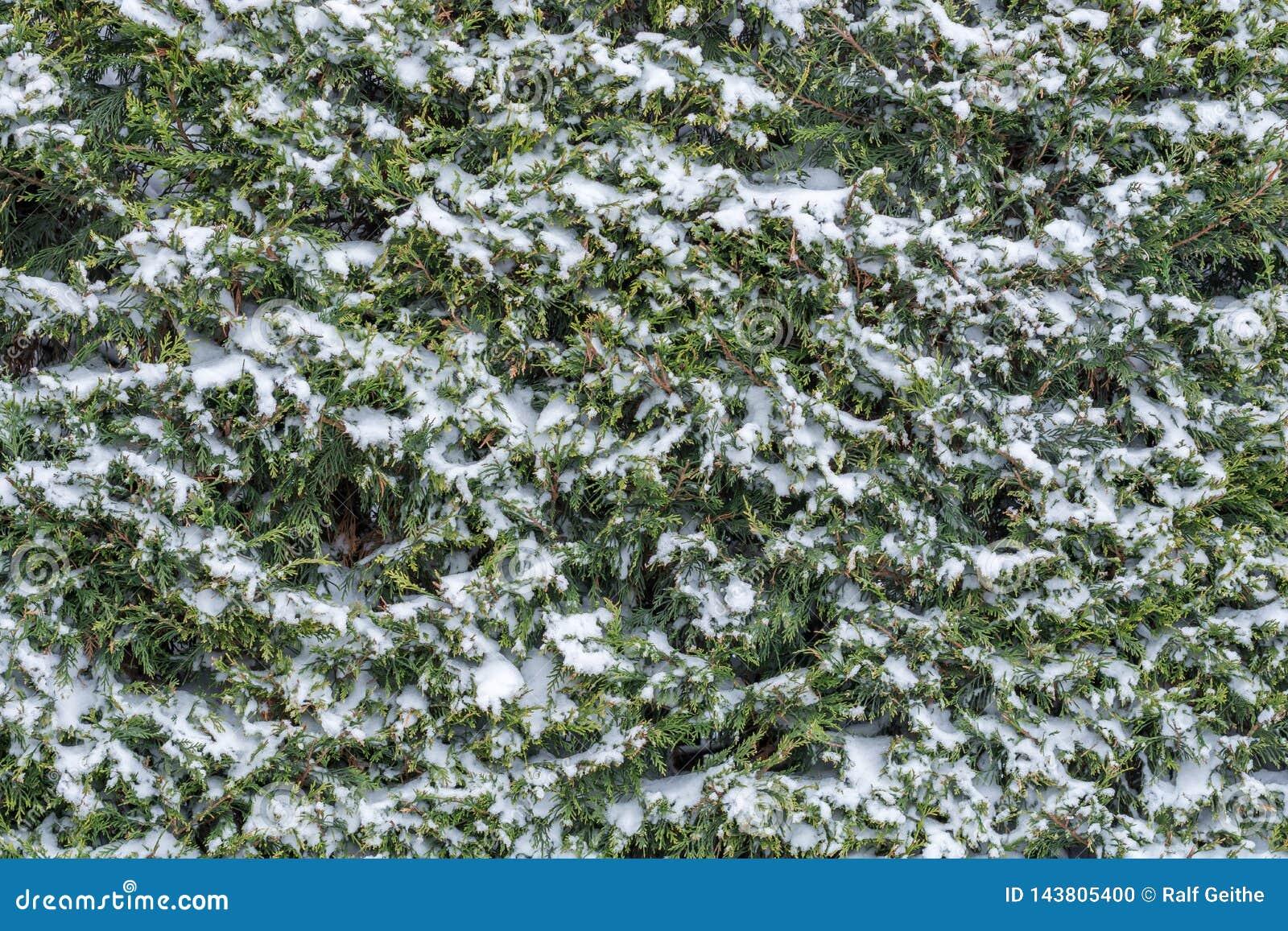 Conífera nevada en invierno como planta imperecedera