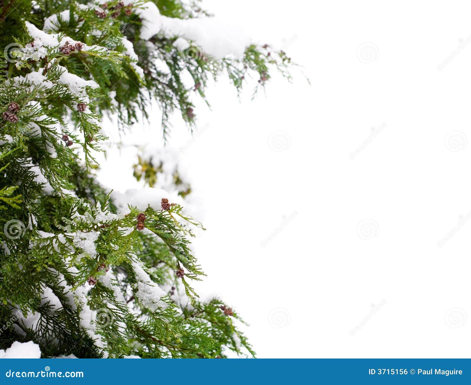 Coníferas e neve