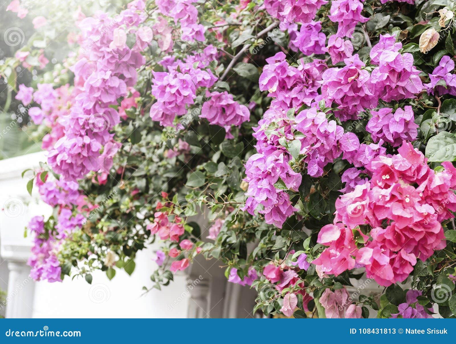 Conceito Da Casa E Do Jardim Da Buganvília Ou Da Flor De Papel