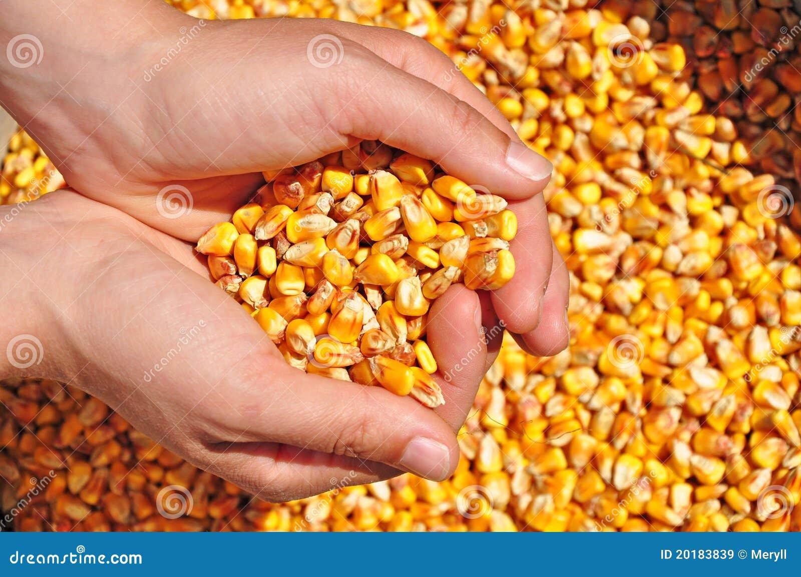 Conceito da colheita de milho da agricultura