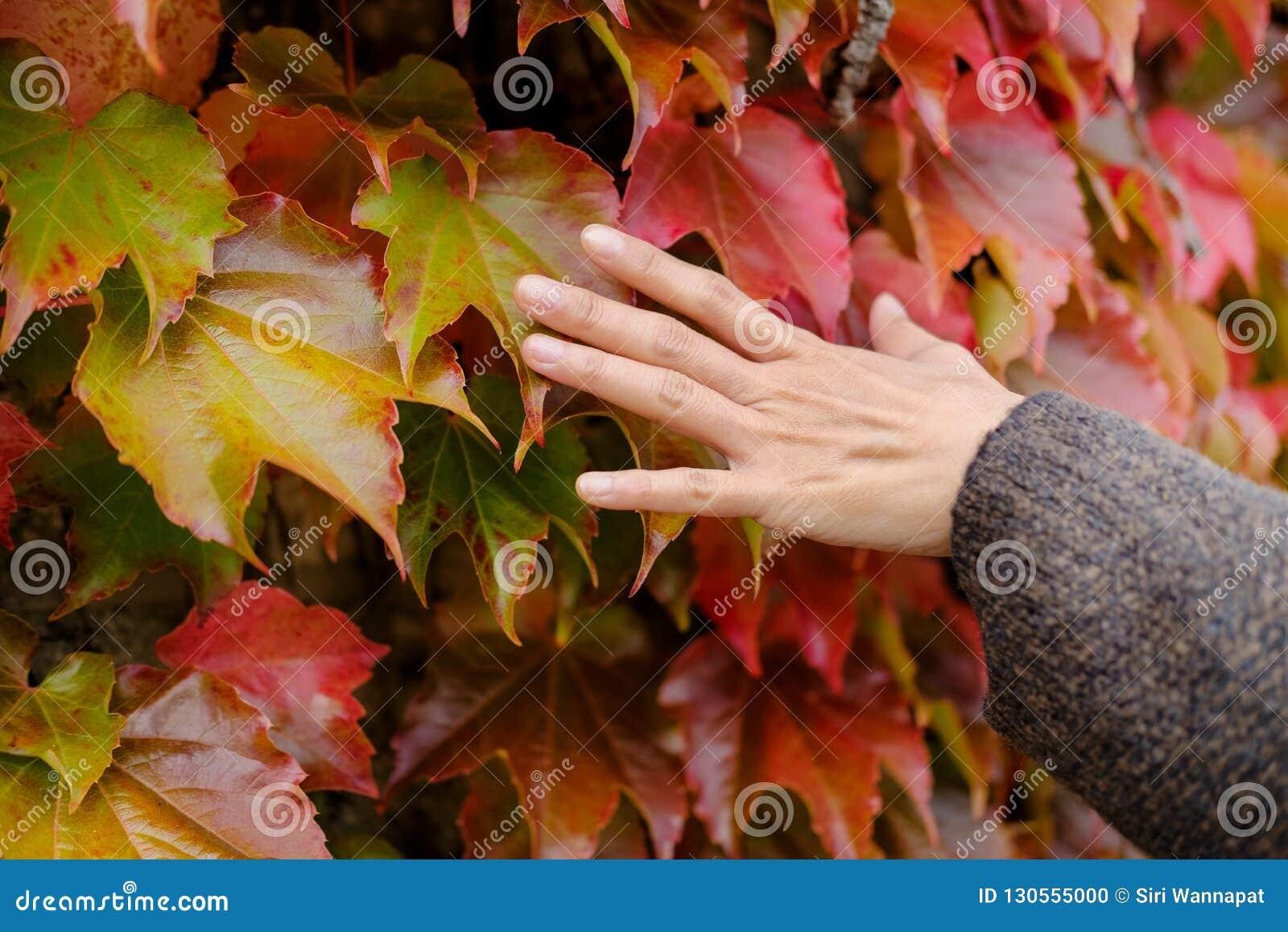 Conceito da estação da queda e do outono Perto acima da mão da mulher delicadamente