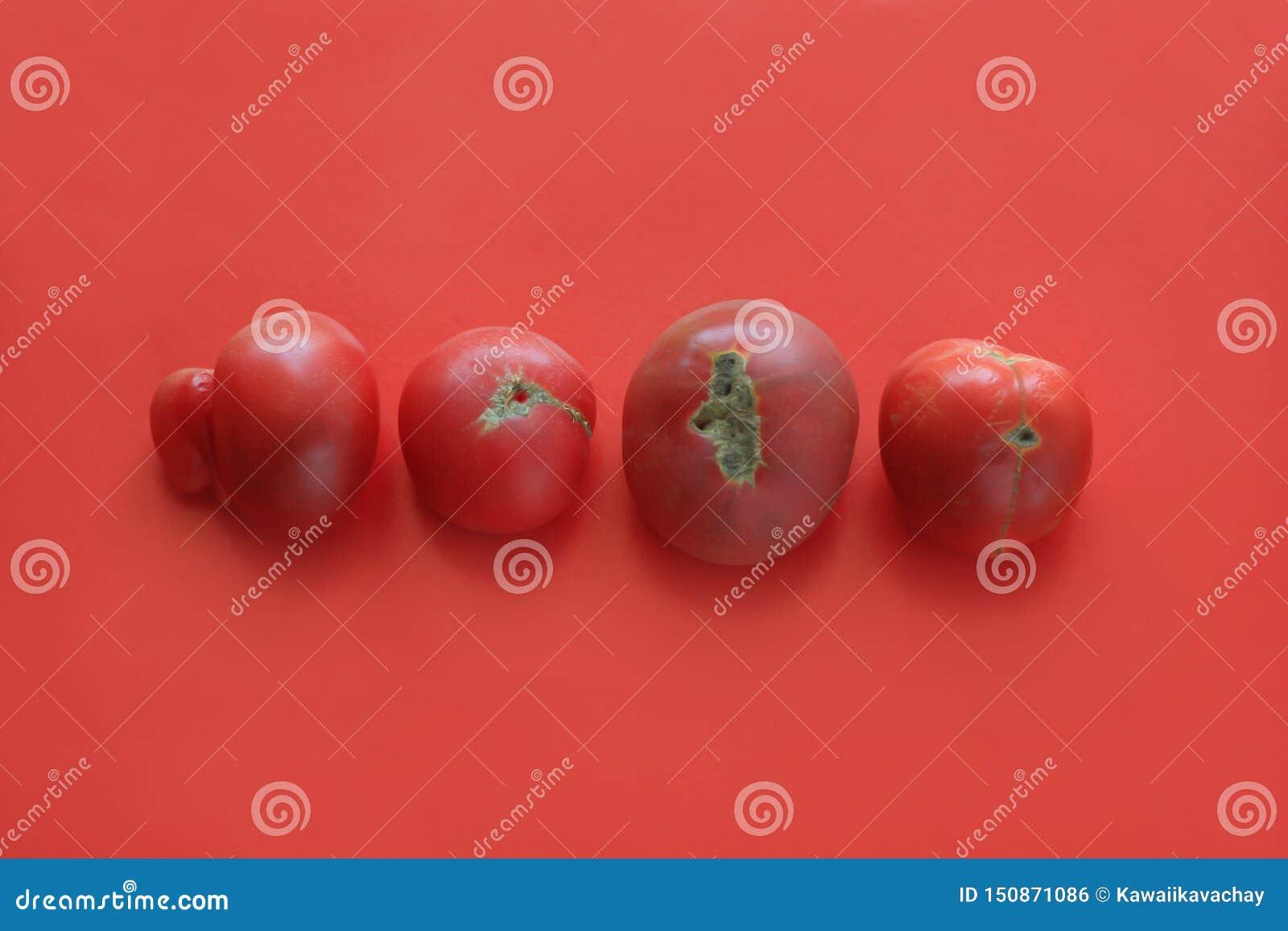 Conceito feio do alimento, tomates deformados no fundo vermelho, espaço da cópia