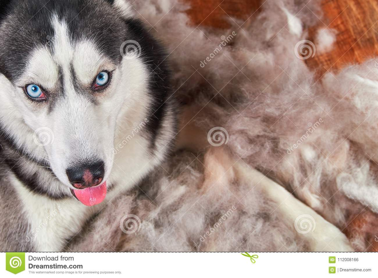 Concept annual molt, coat shedding, moulting dogs. Siberian husky lies on wooden floor in pile his fur. Top view.
