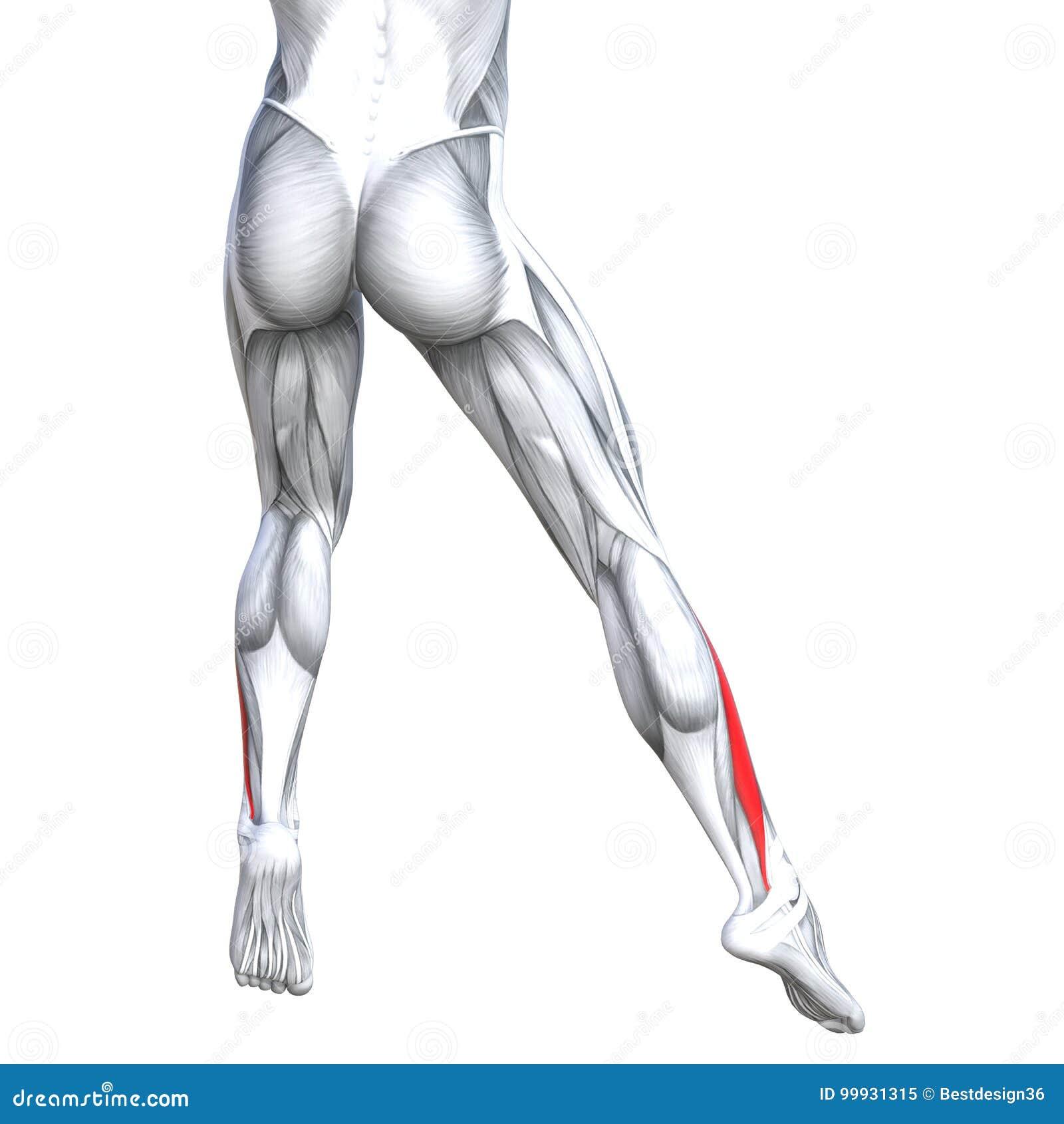 Concept 3d Illustration Back Lower Leg Human Anatomy Stock