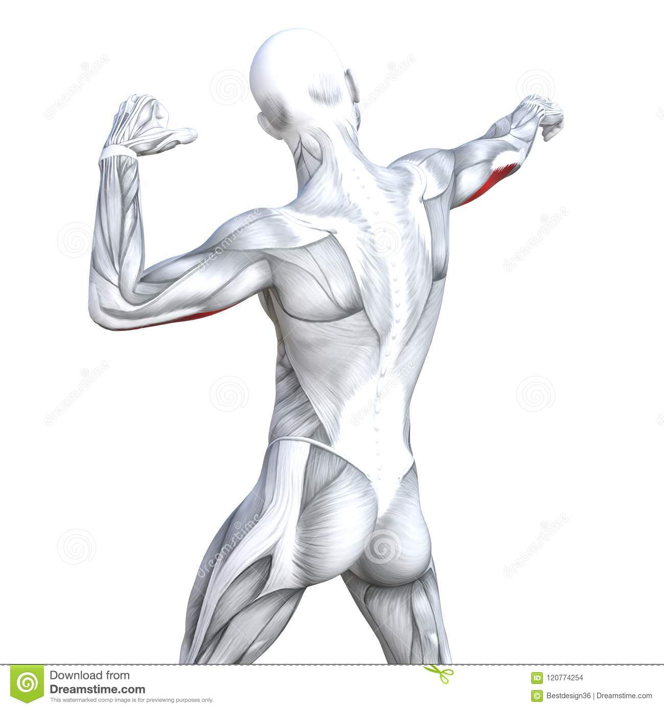 3D Illustration Triceps Fit Strong Human Anatomy Stock Illustration ...