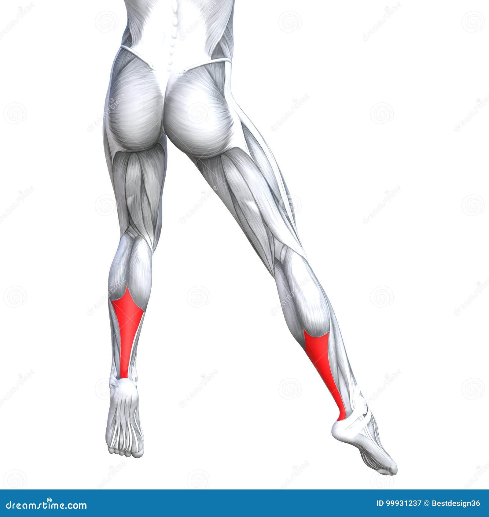 Concept 3D Illustration Back Lower Leg Human Anatomy Stock ...