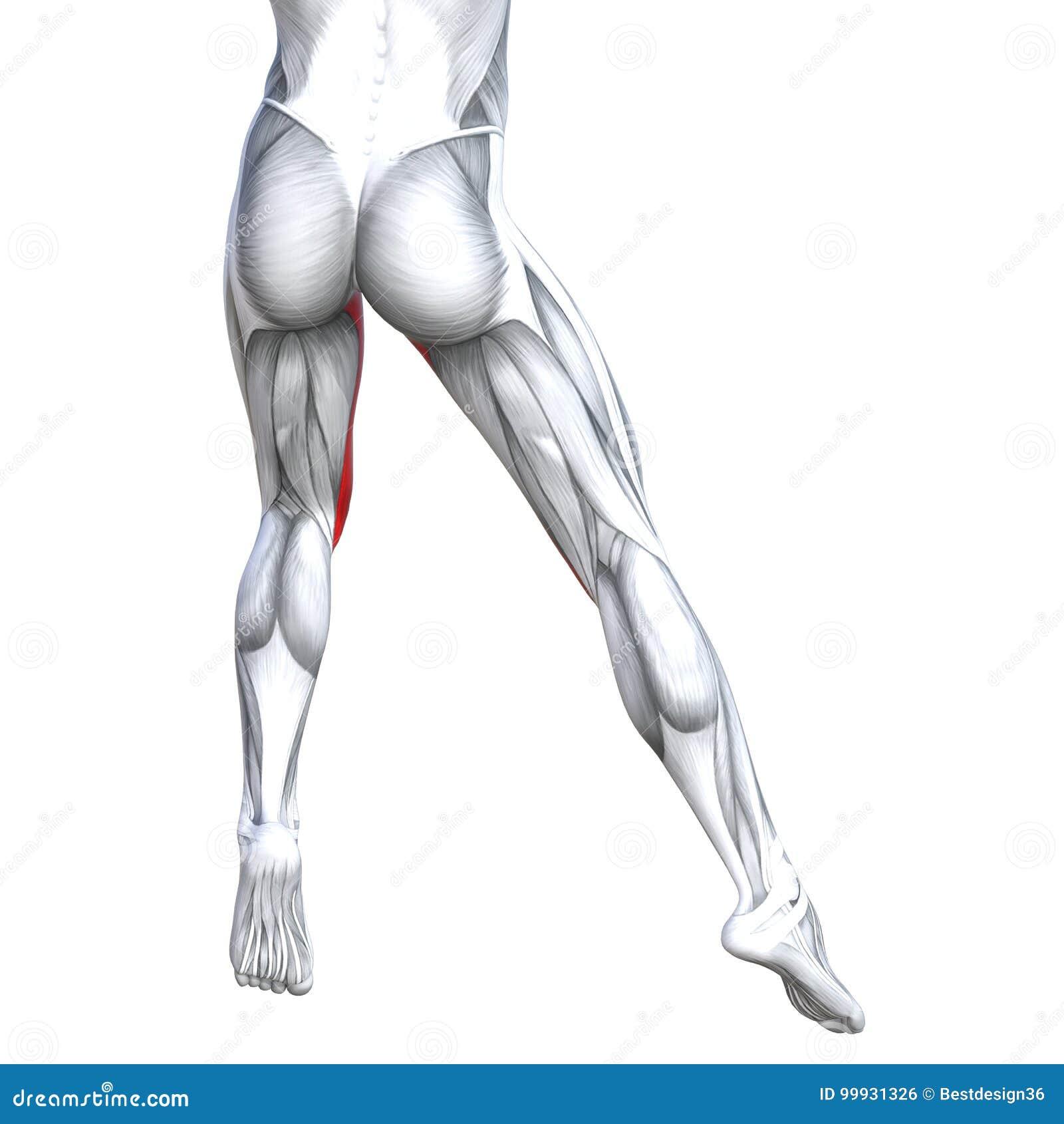 Concept 3d Illustration Back Upper Leg Human Anatomy Stock