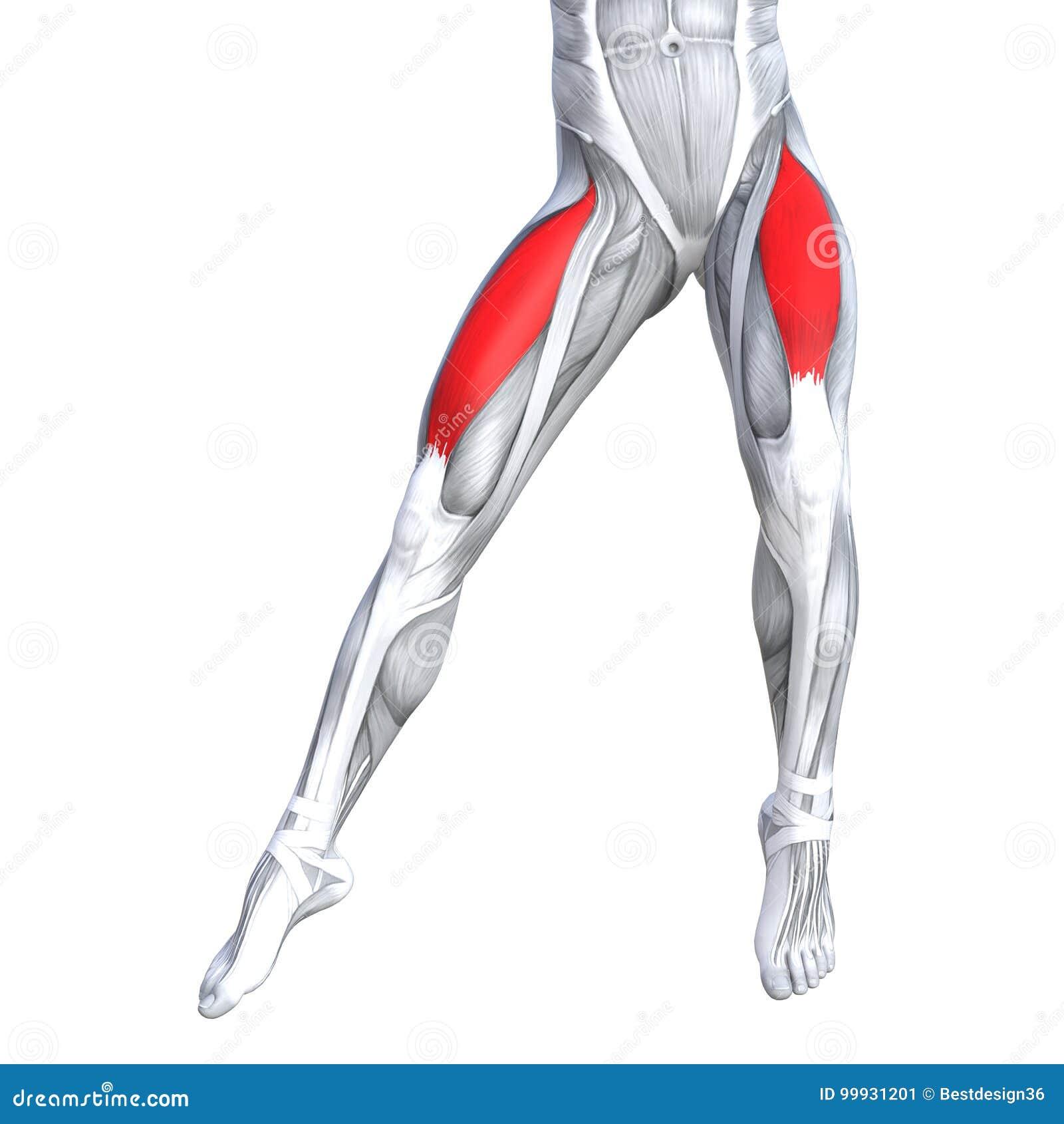 Concept 3D Illustration Front Upper Leg Human Anatomy Stock ...