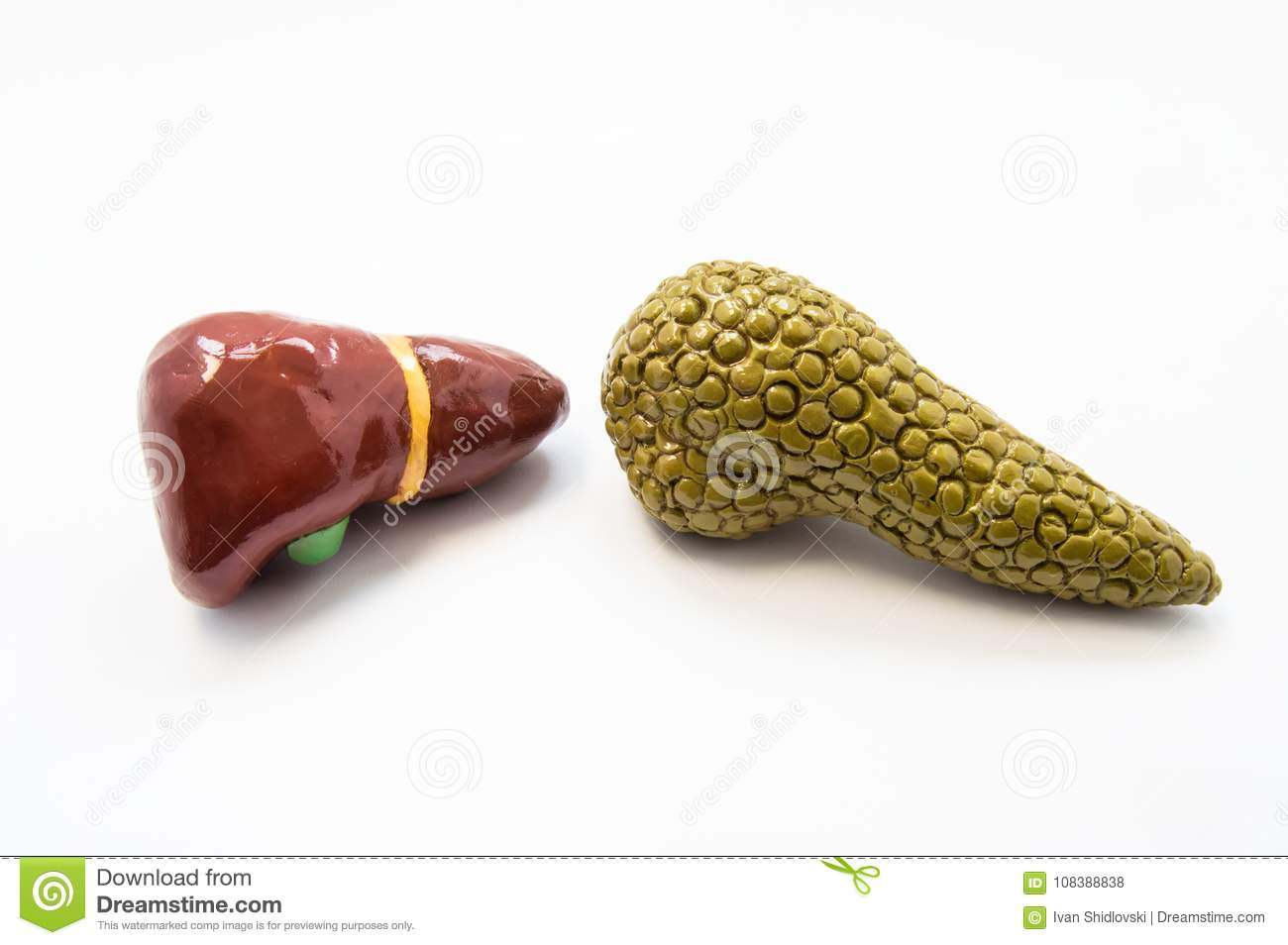 Concept of the hepatobiliary system. Anatomical models of liver and pancreas lie nearby on a white background. Diseases and pathol