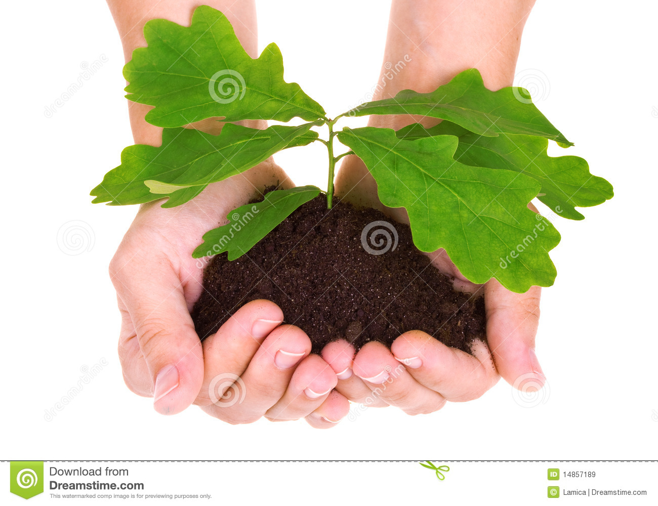 Concept of a young oak tree in woman hands