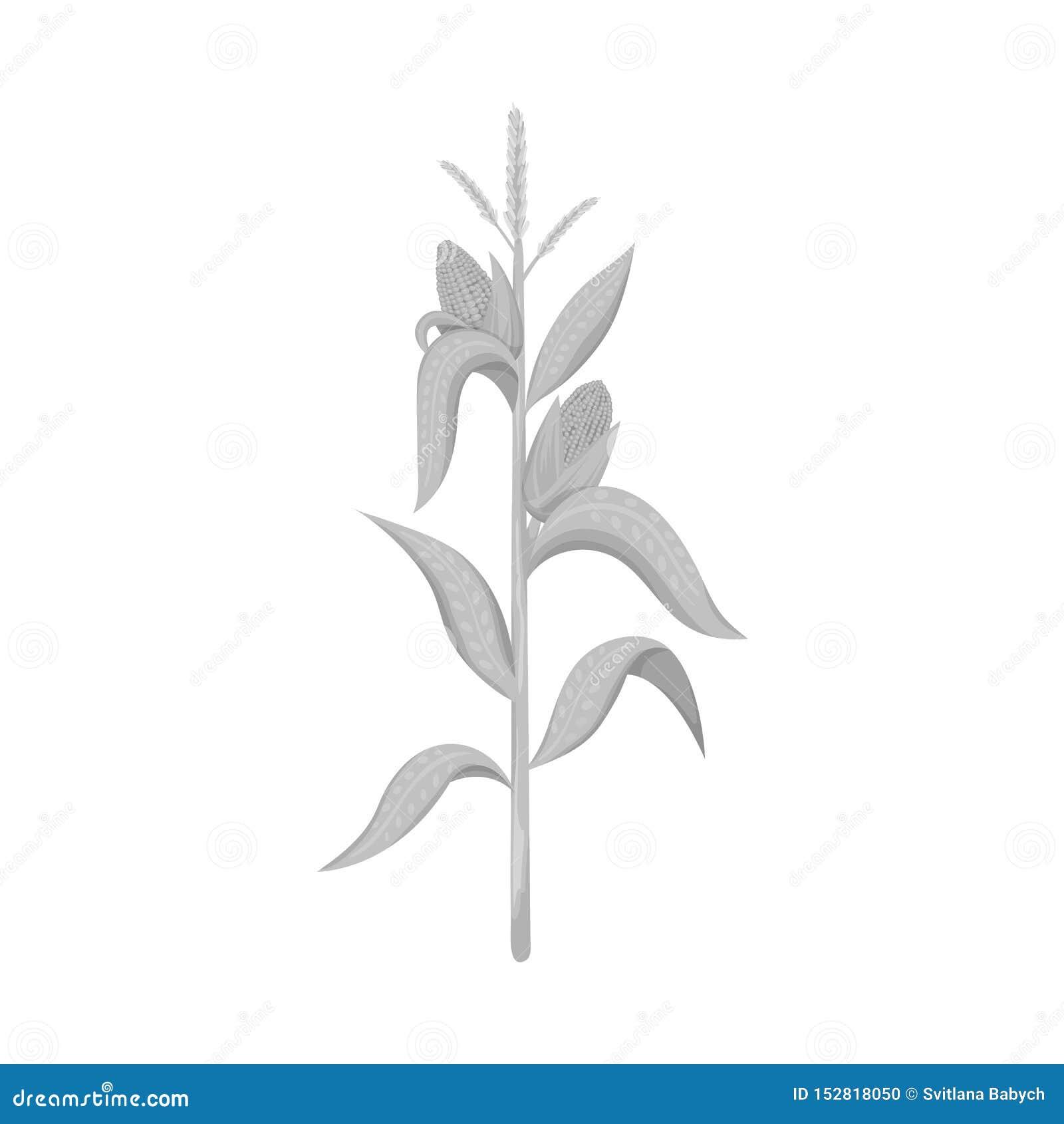 Conception de vecteur de signe de maïs et de tige Collection d illustration de vecteur d actions de ma?s et de champ