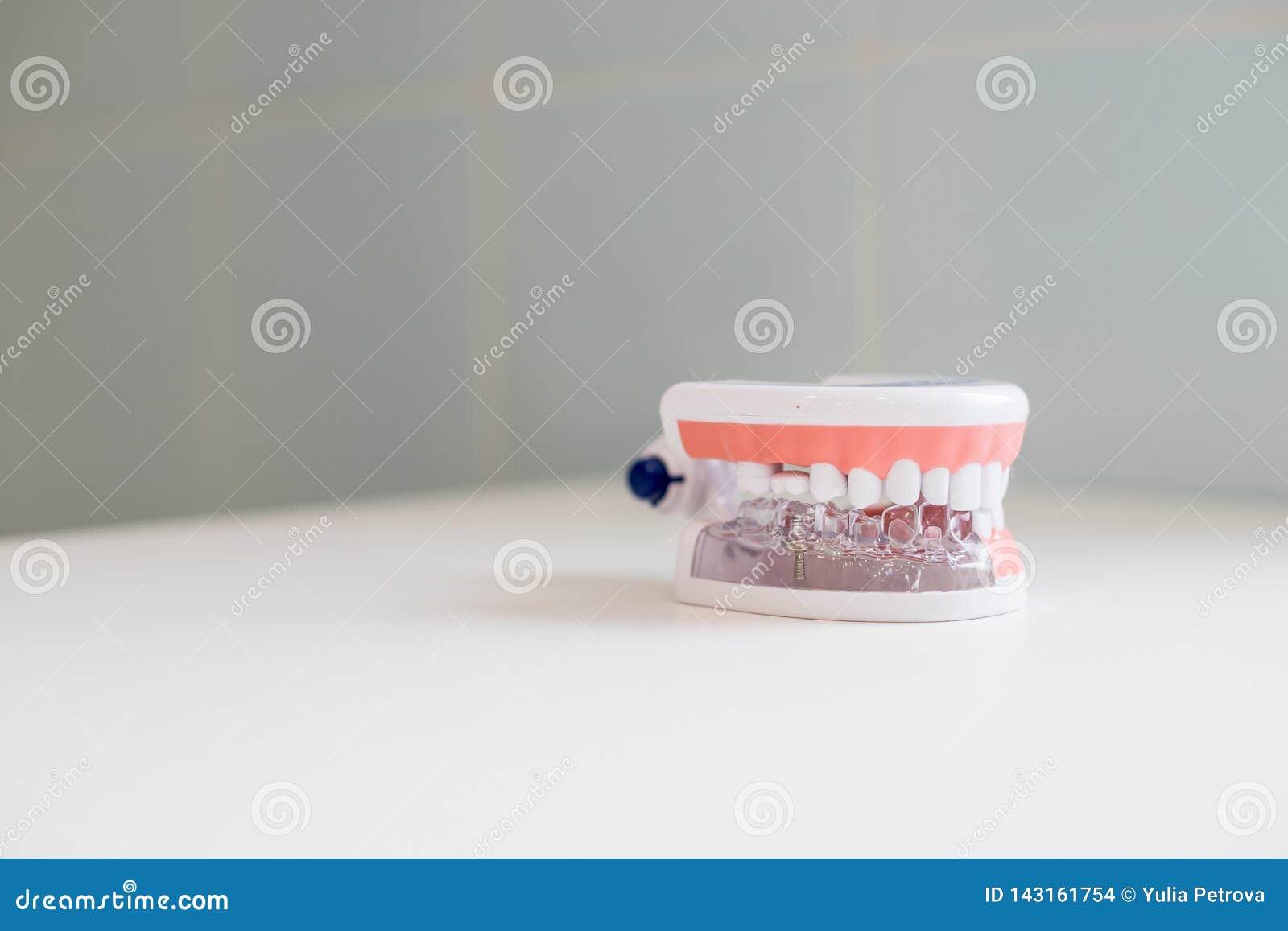Concepto del chequeo del higienista dental Estudiante dental de la odontología del diente que aprende los dientes modelo de enseñ