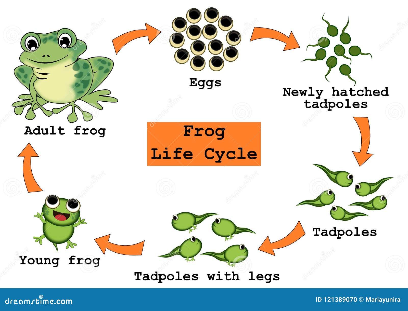 Concepto del ciclo de vida de la rana