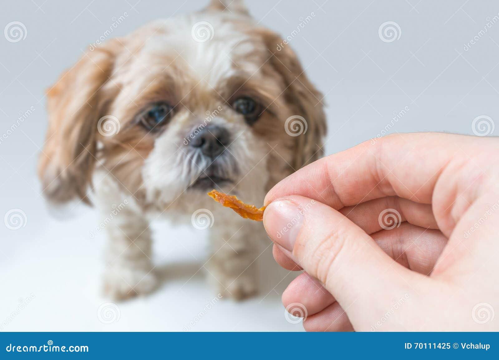 Concepto del entrenamiento del perro Los controles del hombre tratan a disposición