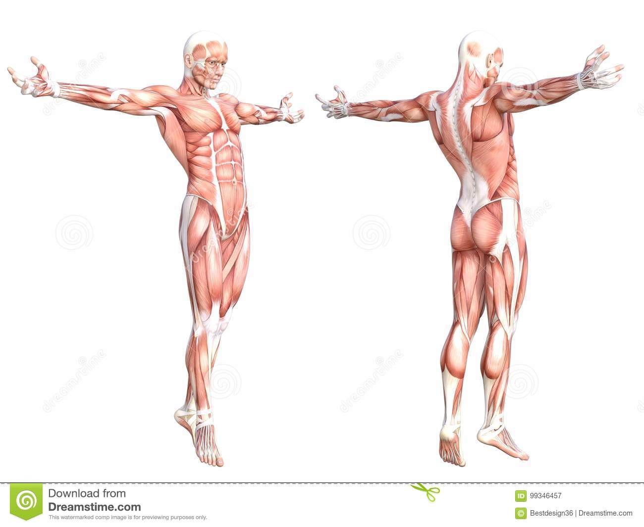 Anatomy Healthy Skinless Human Body Muscle Stock Illustration ...