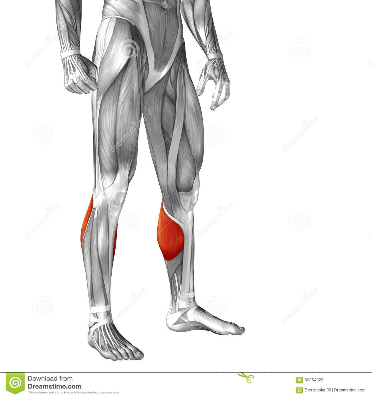 Conceptual 3d Human Front Lower Leg Muscle Anatomy Stock