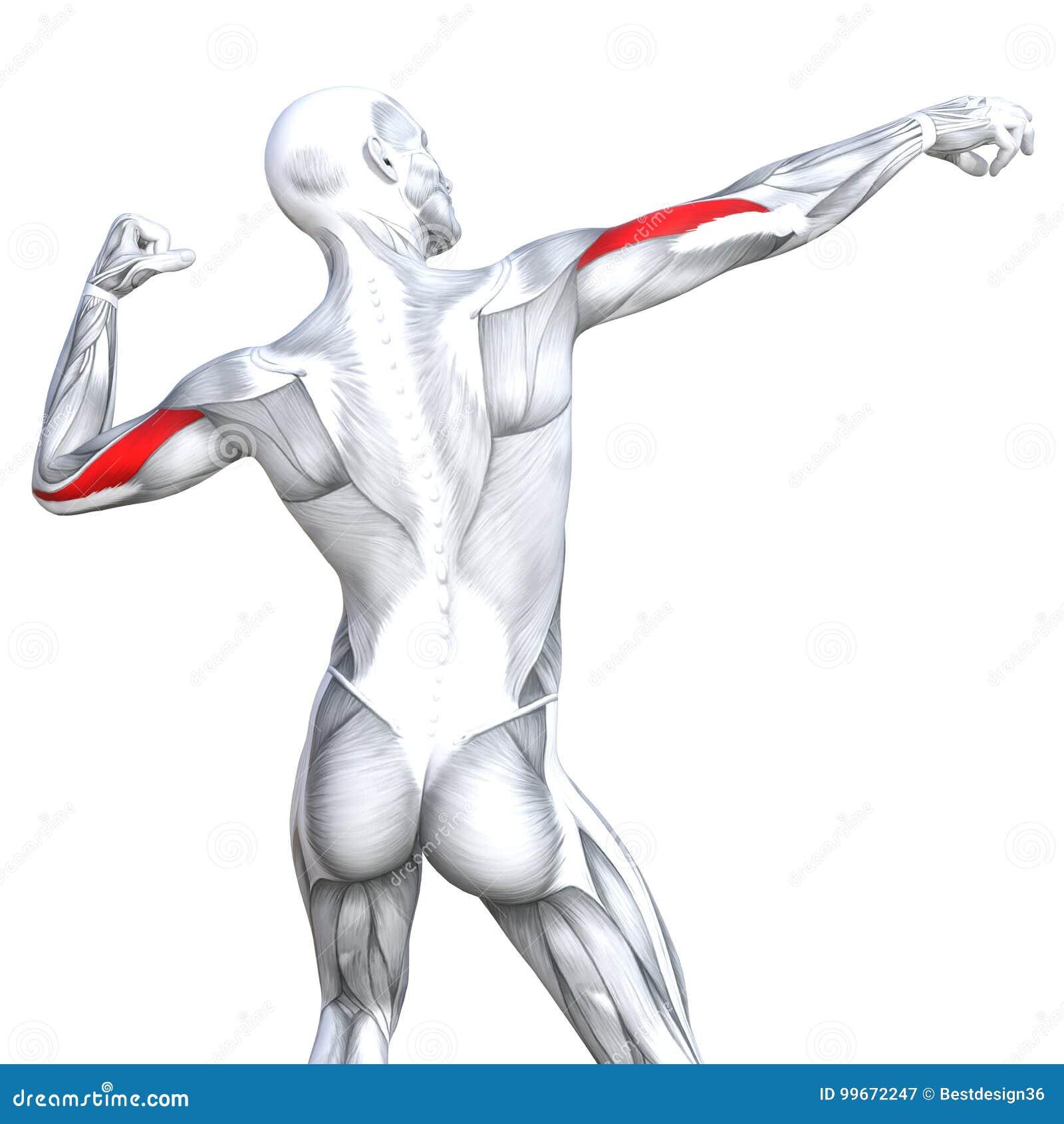 3d Illustration Back Fit Strong Human Anatomy Stock Illustration