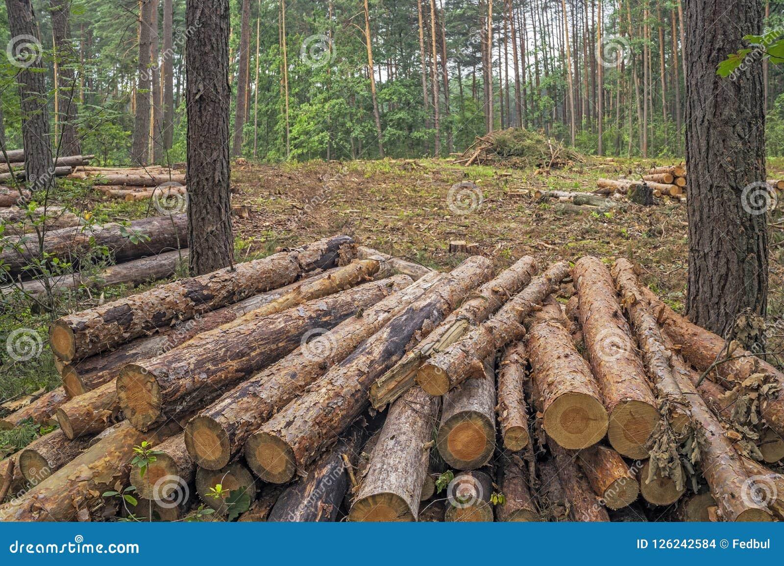 Concetto di disboscamento Ceppi, ceppi e rami dell albero dopo la c