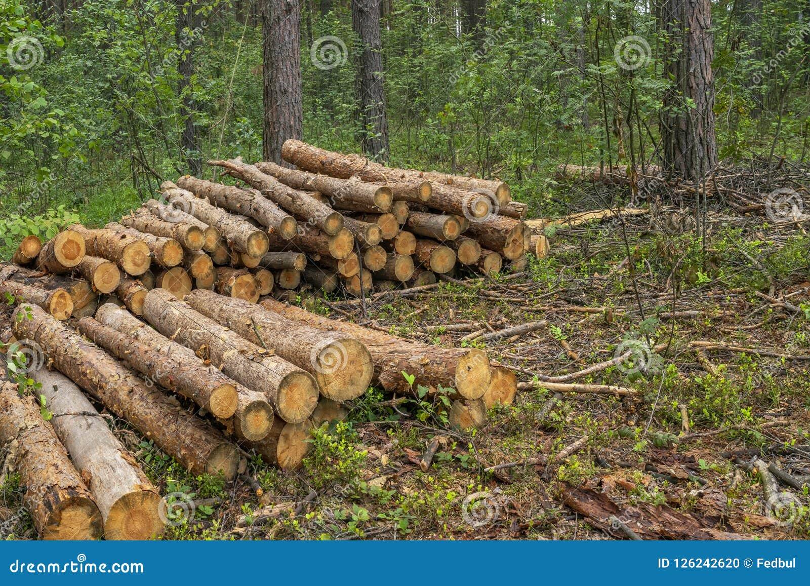 Concetto di disboscamento Ceppi, ceppi e rami dell albero dopo la foresta di taglio