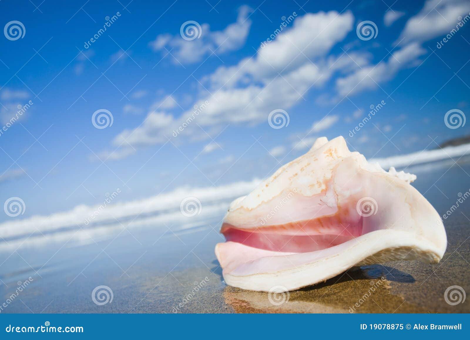 Conch κοχύλι βασίλισσας
