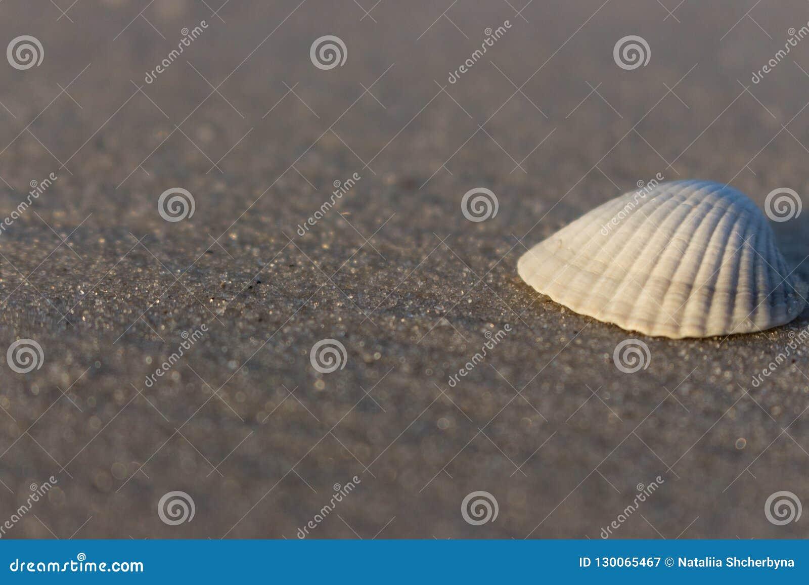 Concha marina blanca en cierre aislado arena blanca para arriba Shell en el mar vara Concepto de las cáscaras Playa vacía con las