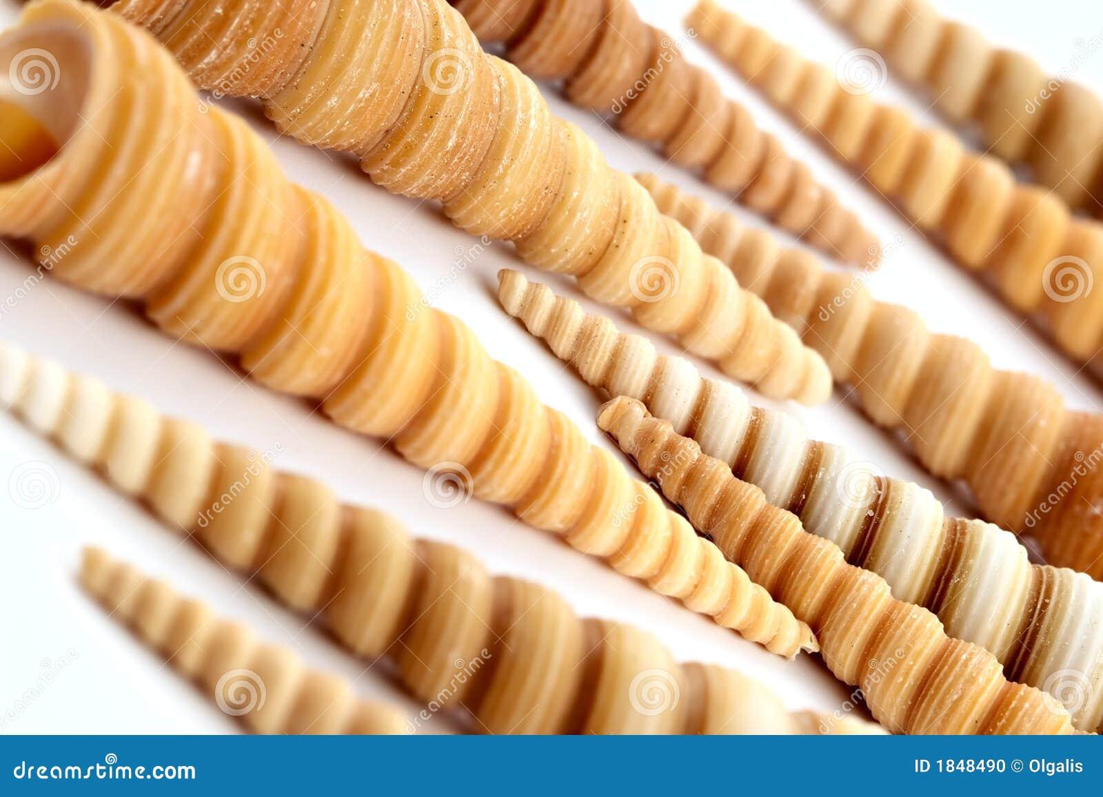 Conchas de berberecho largas espirales hermosas del mar en el fondo ...