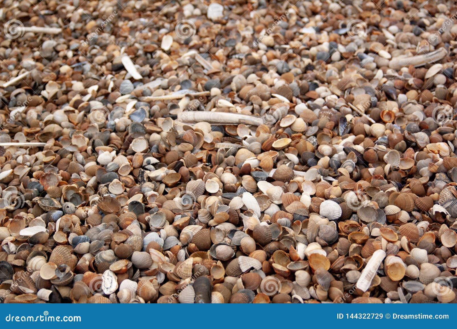 Conchas do mar e moluscos em areias litorais