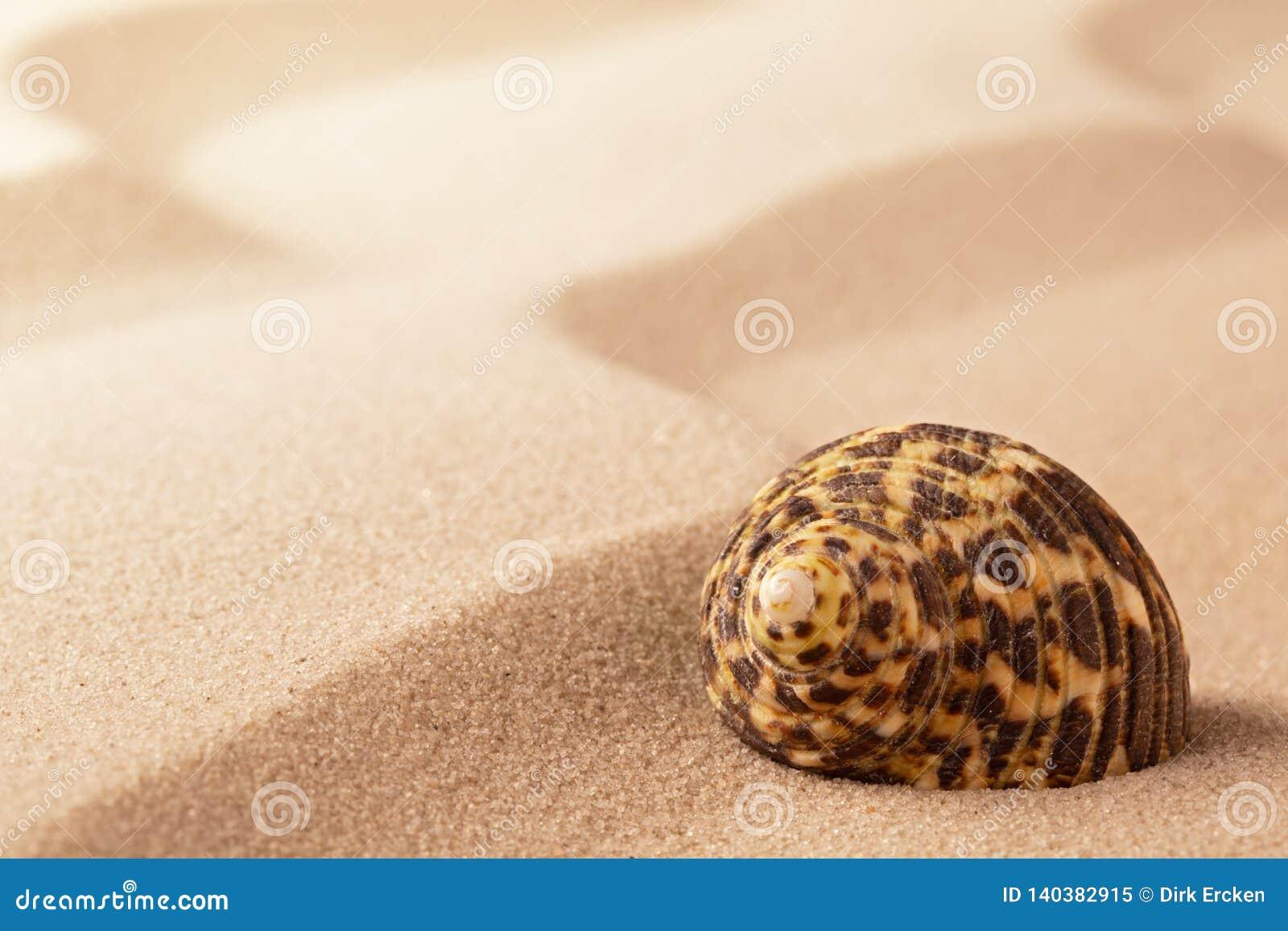 Conchiglia sulla sabbia increspata della spiaggia