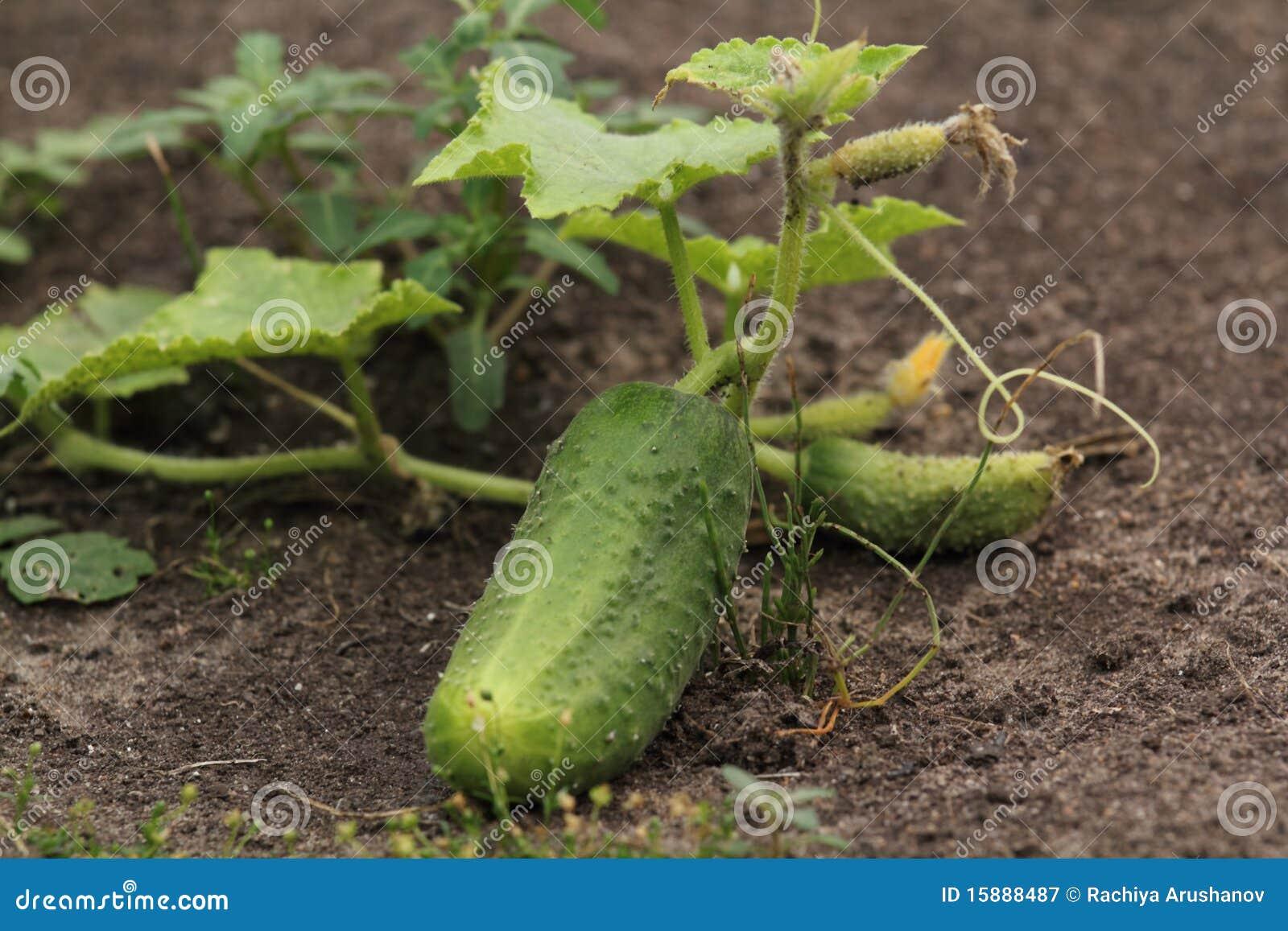 Concombre de jardin photographie stock libre de droits for Entretien concombre jardin