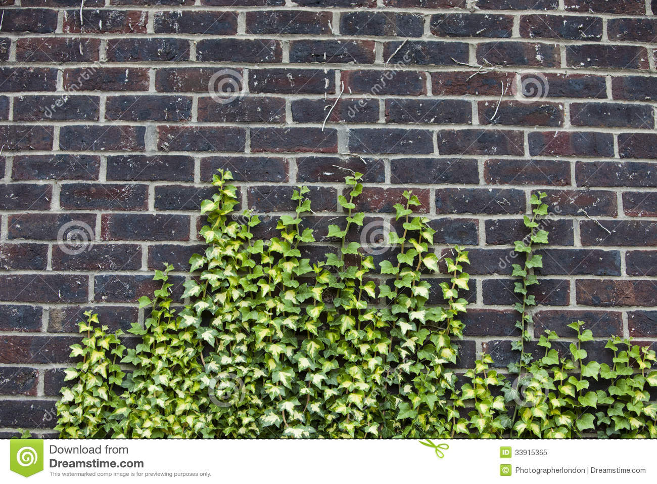 Concrete Wall With Ivy Growing Up It Stock Image Image
