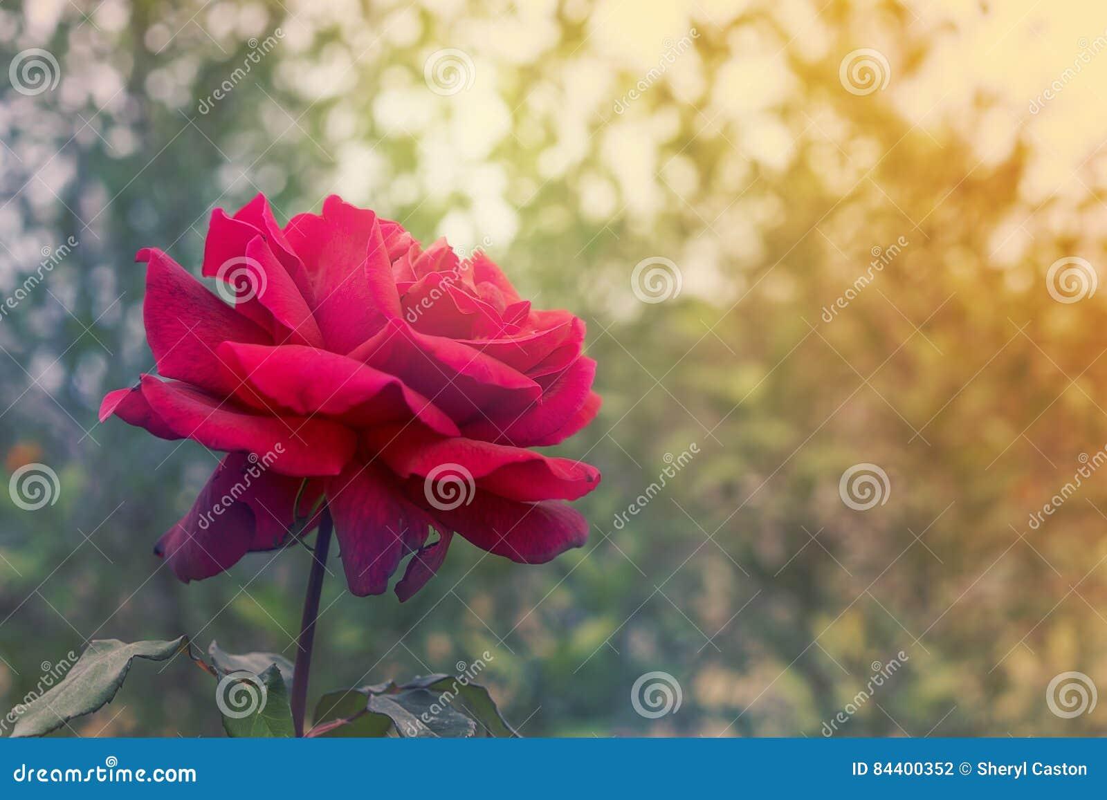condol ances et fond de rose de rouge de sympathie photo stock image 84400352. Black Bedroom Furniture Sets. Home Design Ideas