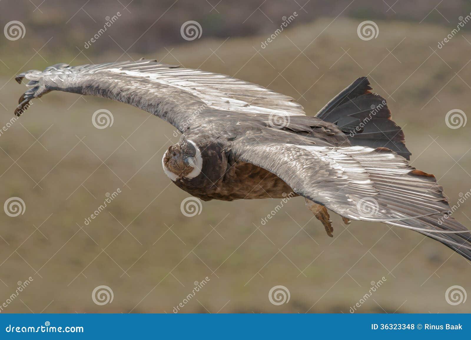 Condor crescente