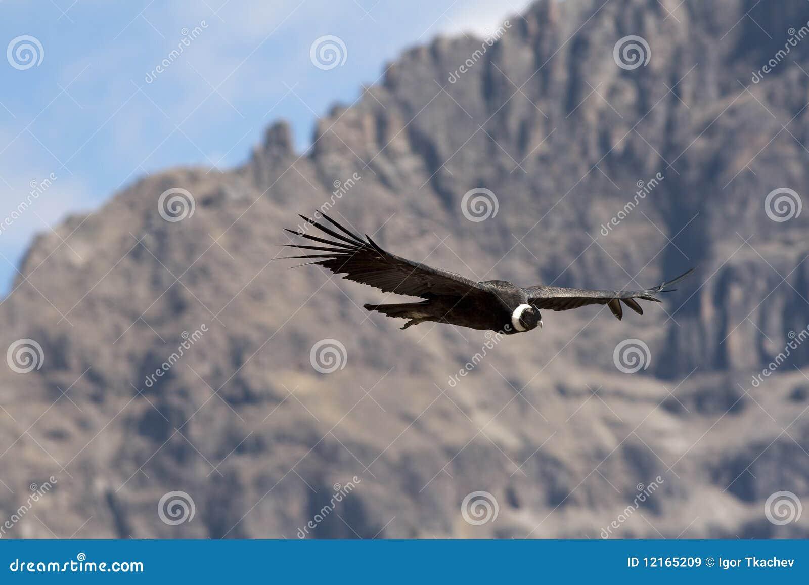 Condor tijdens de vlucht