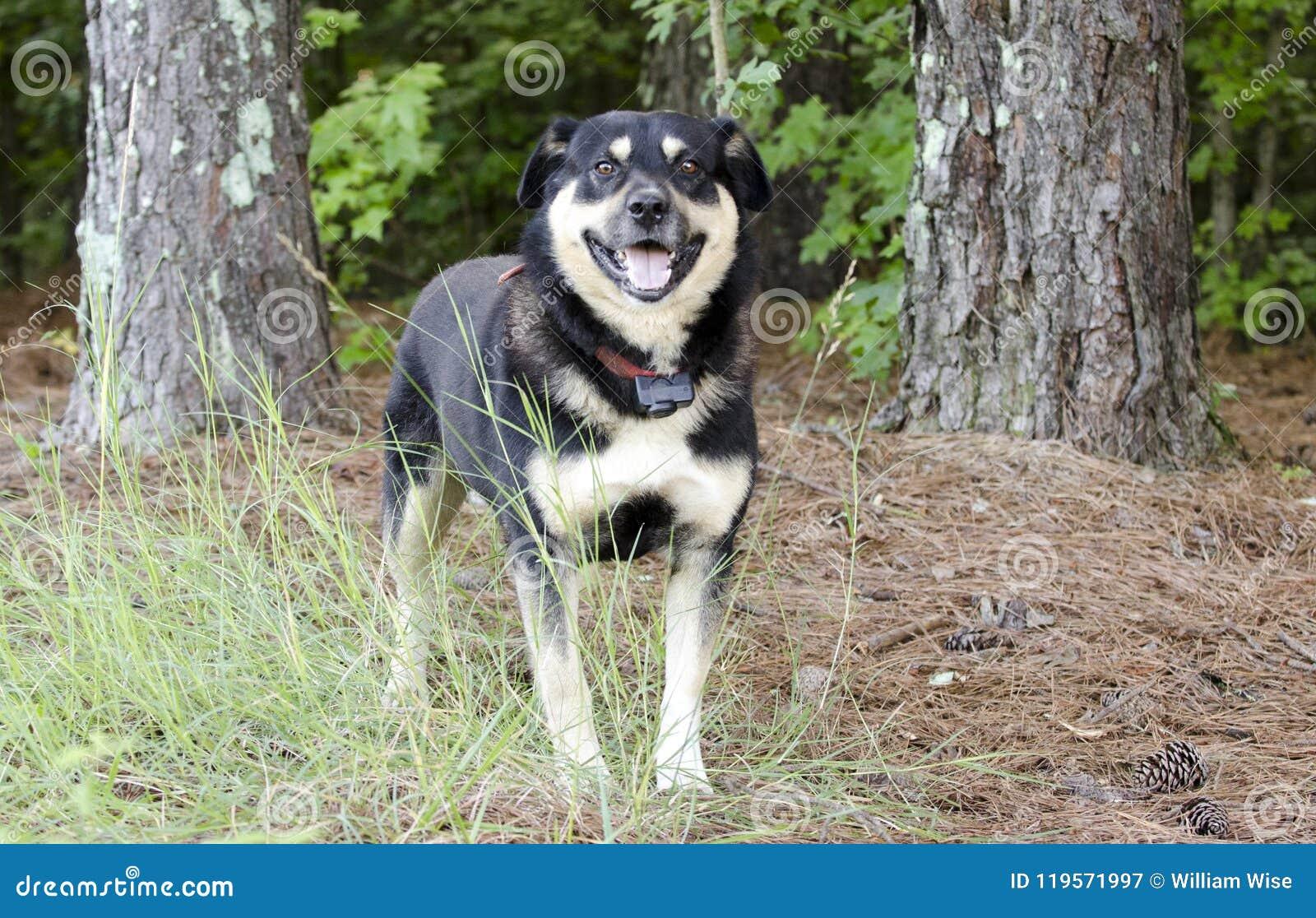 Conduca il cane misto della razza di Aussie Kelpie fuori sul guinzaglio rosso con il collare di scossa
