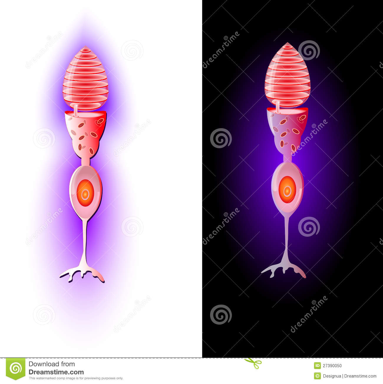 Cone cells. Vector stock vector. Illustration of ophthalmic - 27390050
