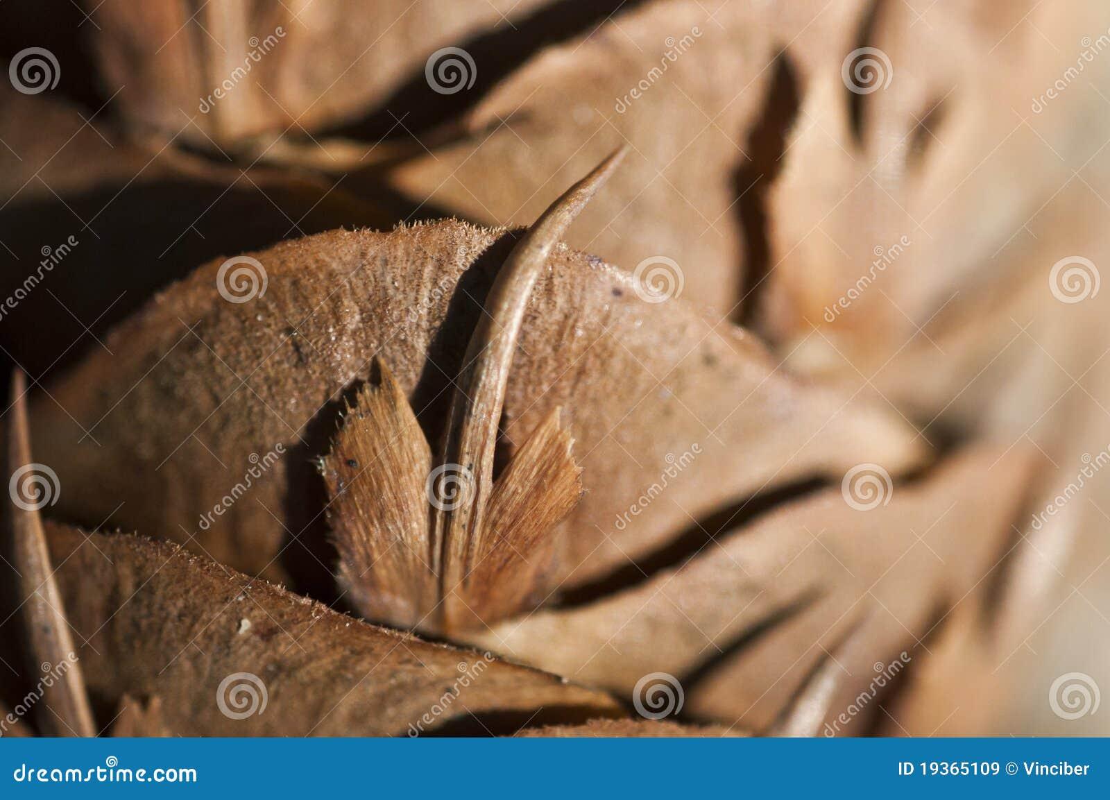 Cone do pinho