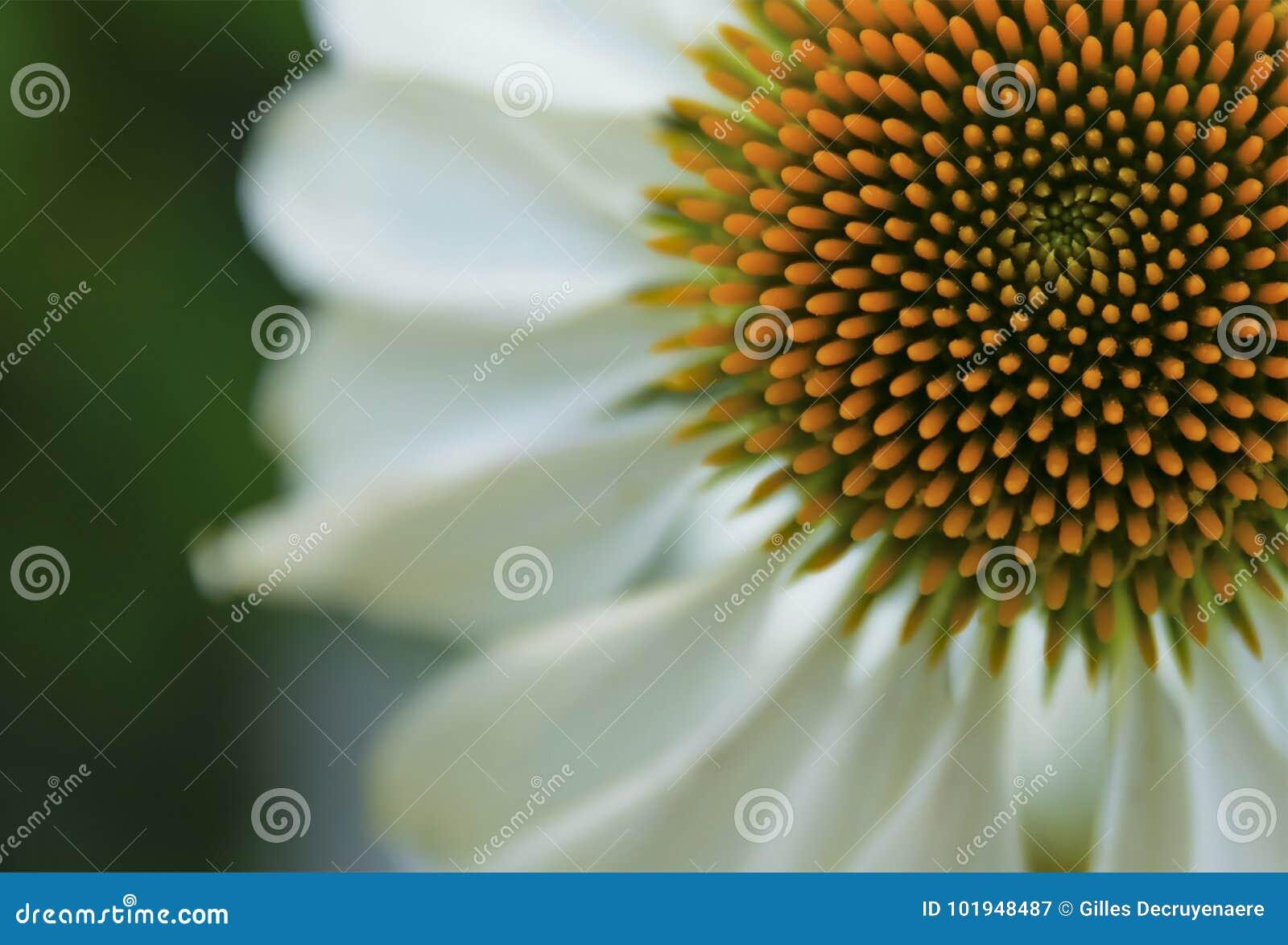 Coneflower λευκό
