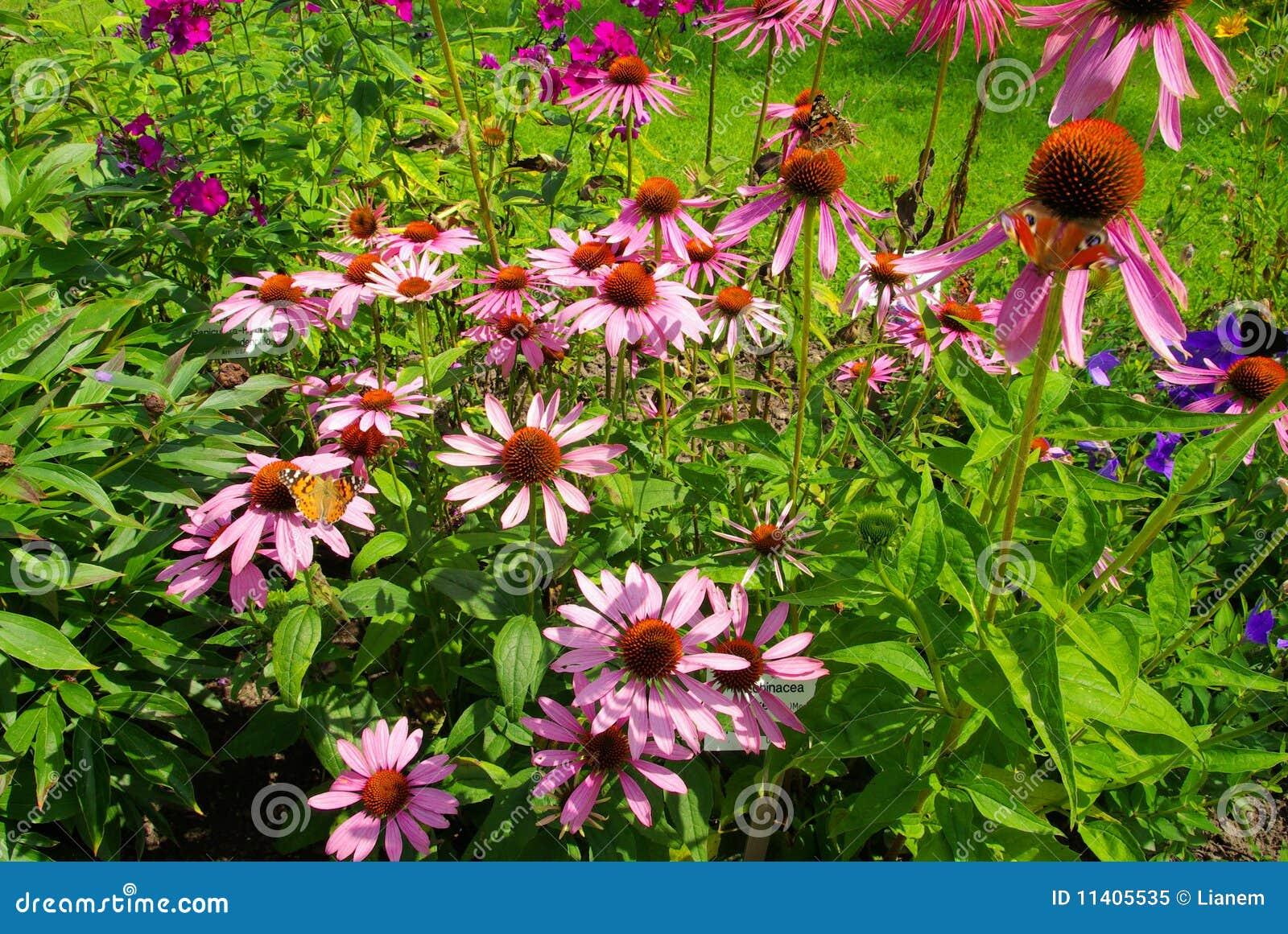 Coneflower roxo