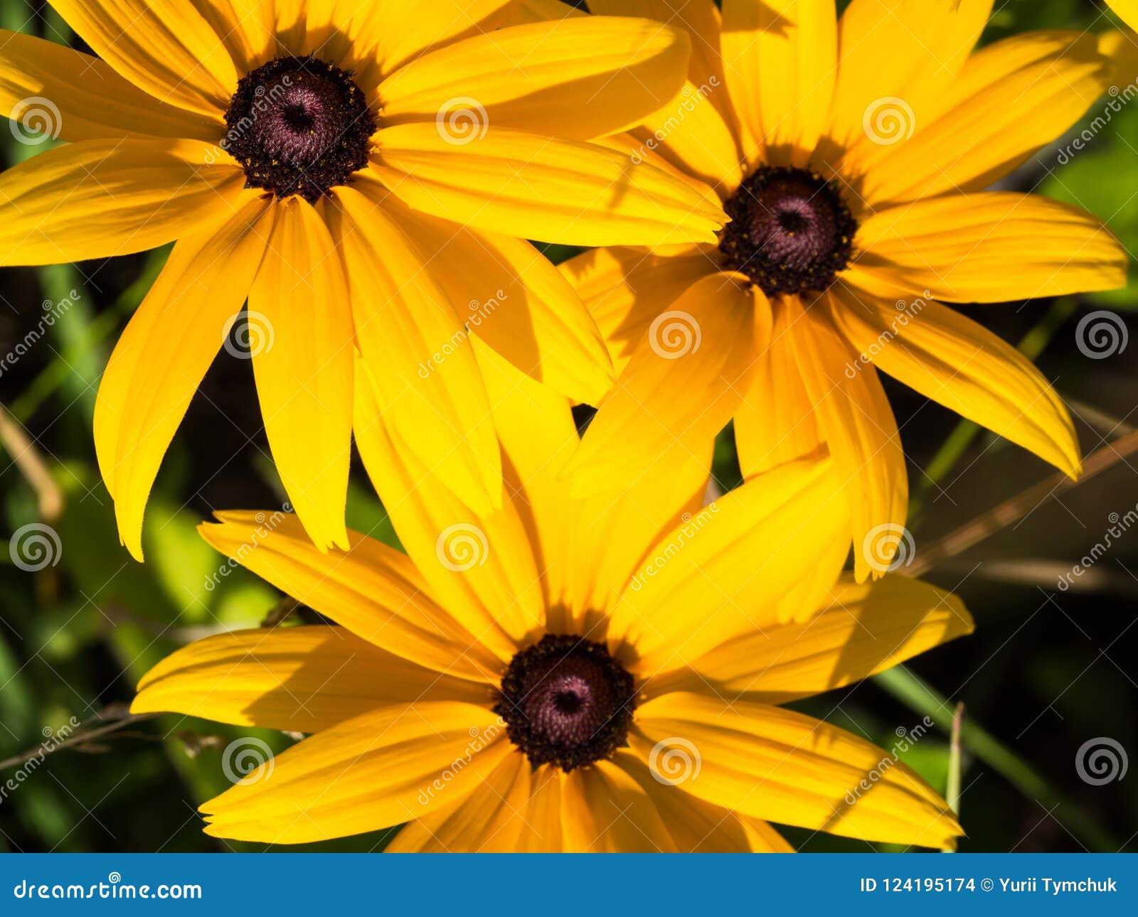 Coneflowers amarelos do Rudbeckia, flores preto-eyed-susans, macro
