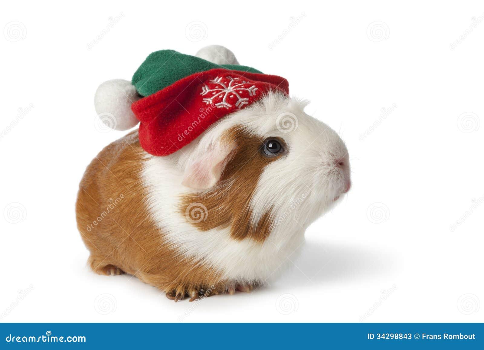 Conejillo de Indias lindo con el sombrero de la Navidad