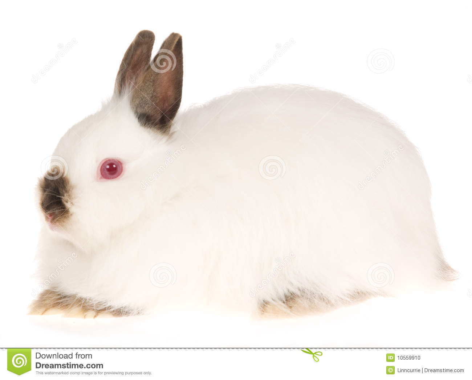 Conejo blanco Rubí-Eyed Wooly de Jersey, en la parte posterior del blanco