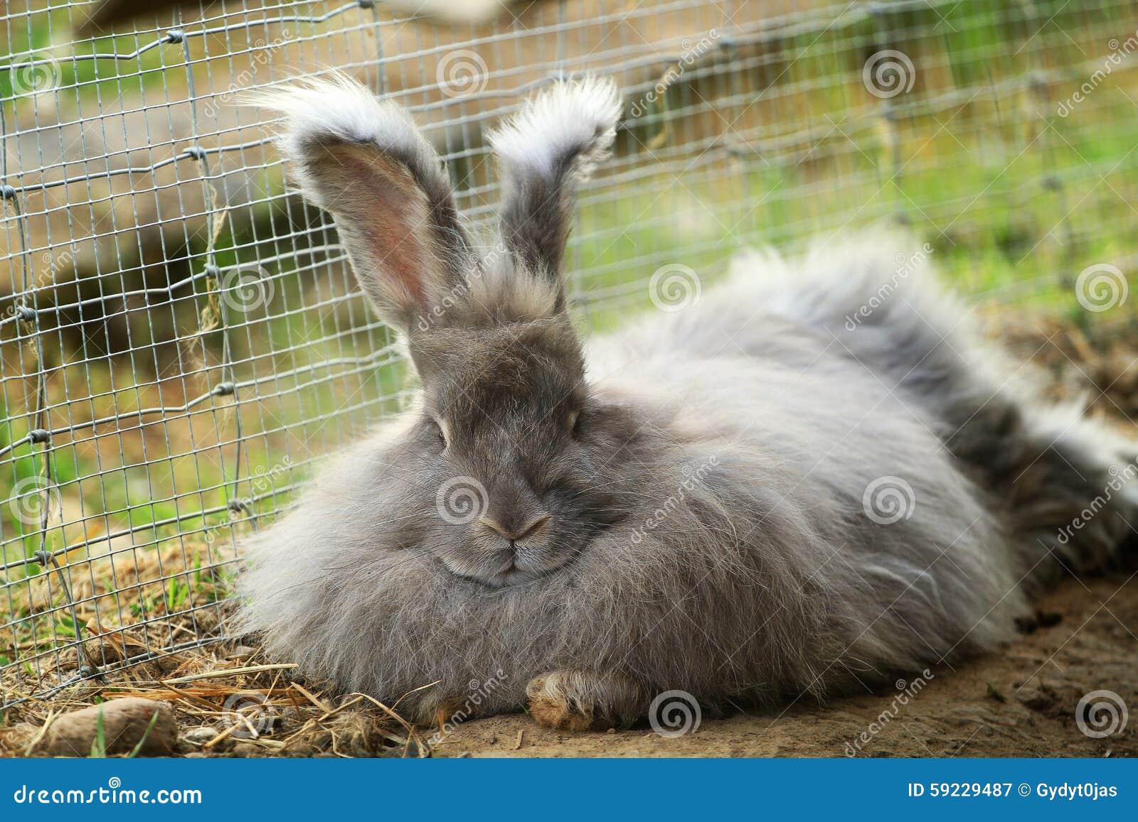 Download Conejo Del Angora Que Descansa Después De Una Comida Imagen de archivo - Imagen de lituania, cubo: 59229487