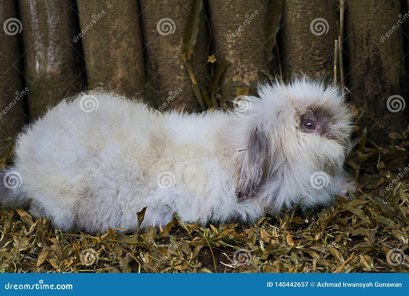 Conejo del angora relajado cerca de las cercas de madera
