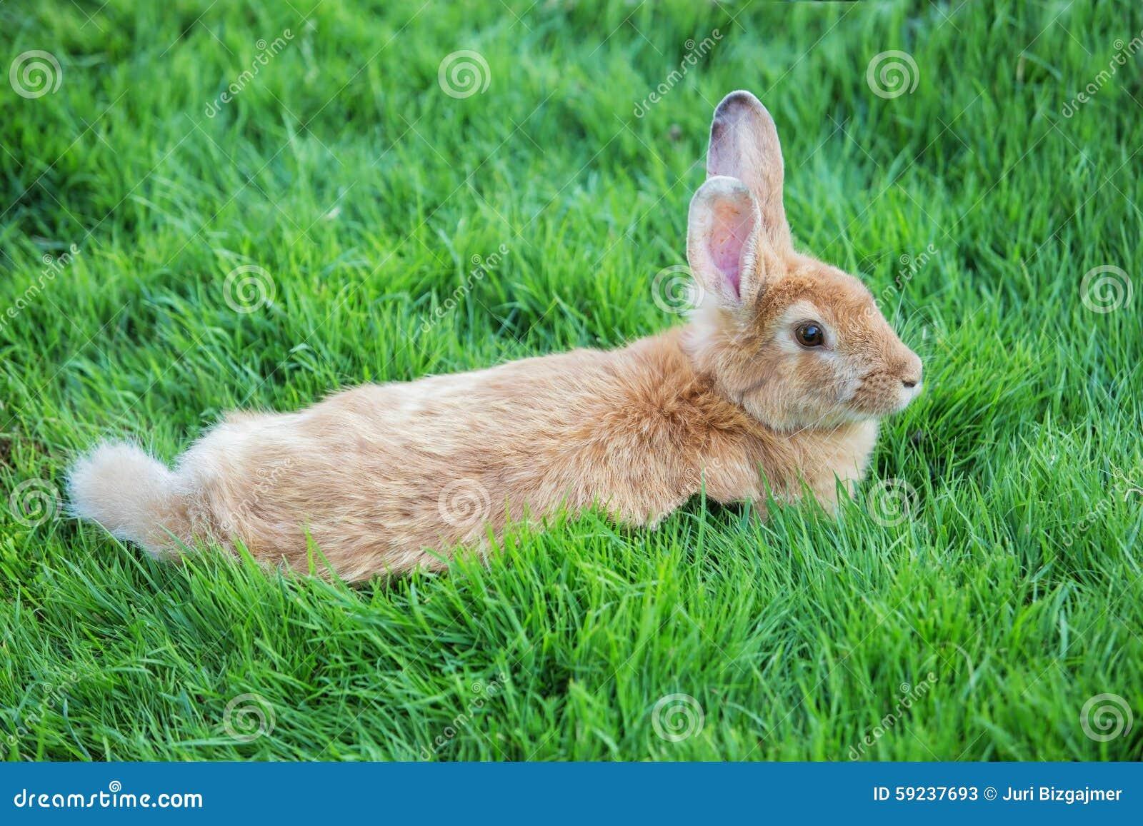 Conejo en césped verde