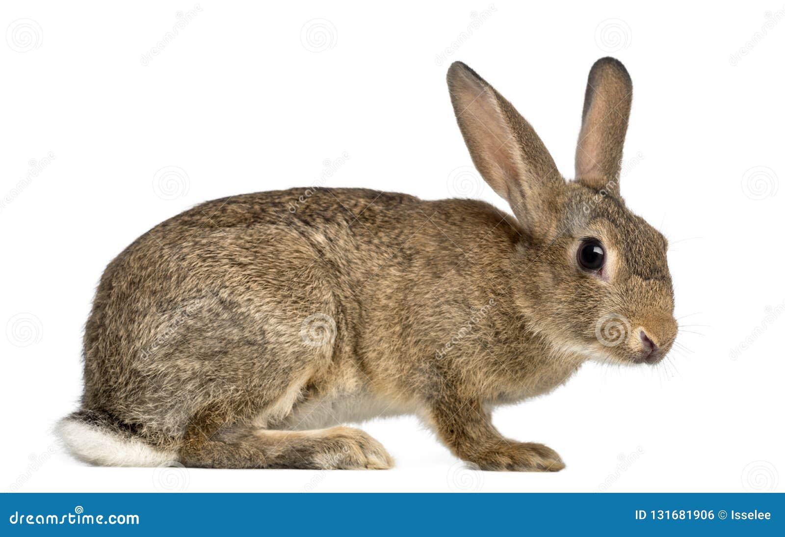 Conejo europeo o conejo del campo común, 3 meses