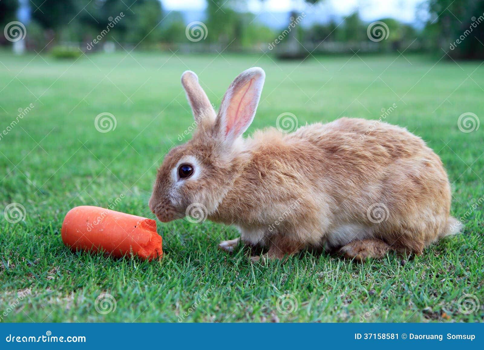 Conejo Que Come La Zanahoria Imagen De Archivo Imagen De Jard Marr 37158581 Dibujo de un conejo con zanahoria para pintar, colorear o imprimir. dreamstime