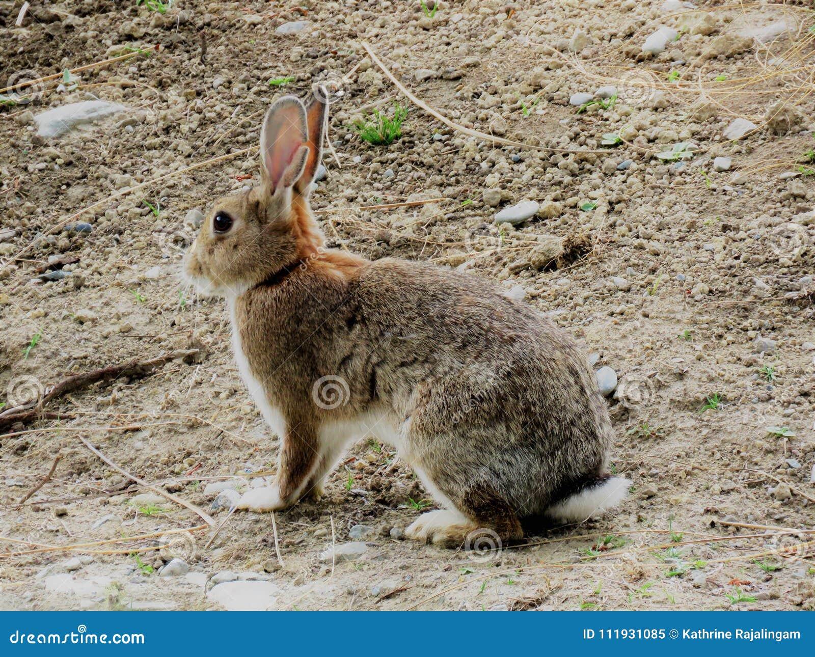 parasito conejo